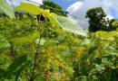 Sabiles Vīna kalnā sāk veidoties odziņas