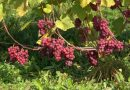 Sabiles Vīna kalnā ir gatavas vīnogas un tiek vākta raža
