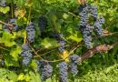 """Ekskursija Sabilē """"Vīna kalns skaņās un garšās"""" 2.oktobrī"""
